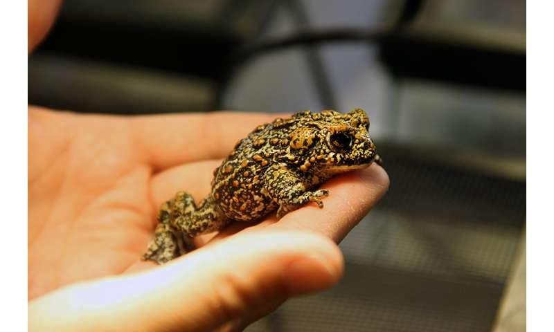 Rare discovery of 3 new toad species in Nevada's Great Basin