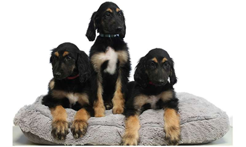 Re-cloning of first cloned dog deemed successful thus far