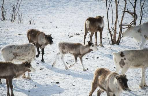 Reindeer in Kautokeino, a town in Finnmark county, located in northeastern Norway
