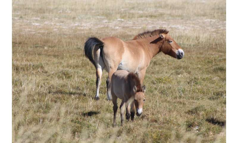 Reintroduced Przewalski's horses have a different diet