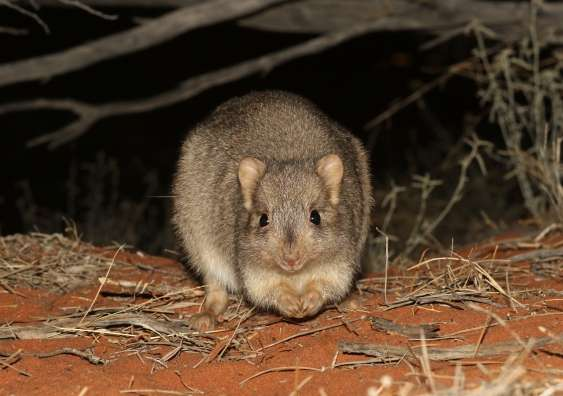 Re-introduction of native mammals helps restore arid landscapes