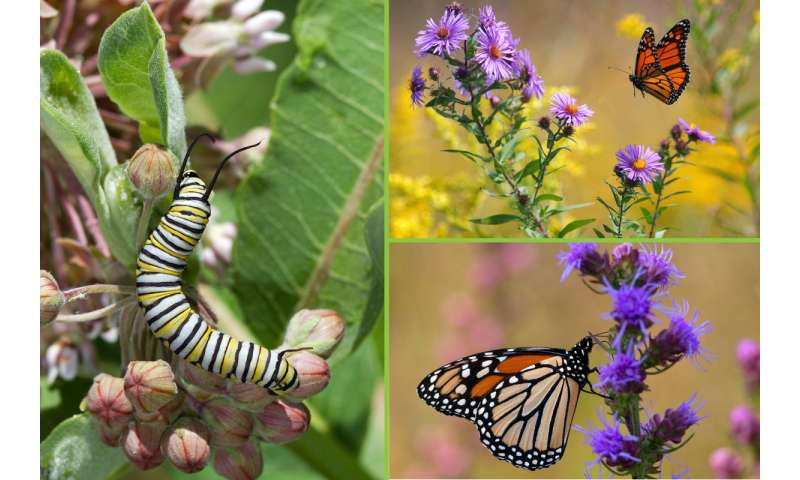 Report: Milkweed losses may not fully explain monarch butterfly declines