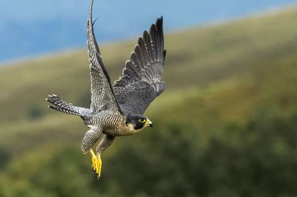 Research work on peregrine falcons inspires future aircraft technologies