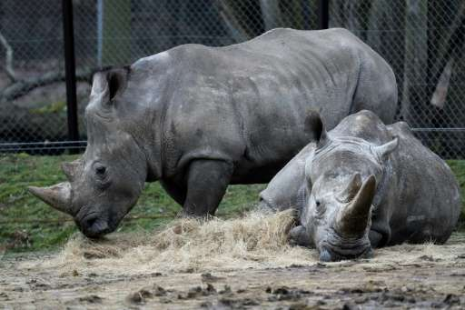Rhinos Bruno (L) and Gracie are seen at a zoo in Thoiry, France March 8, 2017, a day after intruders shot dead a white rhino nam