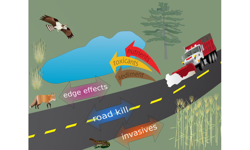 Roads are driving rapid evolutionary change in our environment