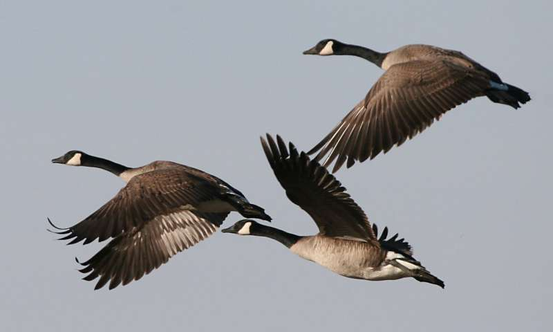 Safety, not food, entices geese to cities