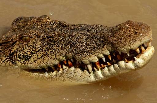 Saltwater crocodiles are common in northern Australia, where numbers have increased since the introduction of protection laws in