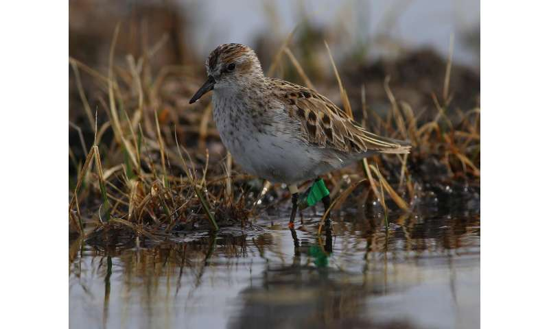 Sandpiper detectives pinpoint trouble spots in continent-wide migration
