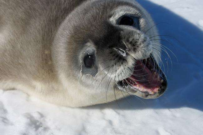 Scientists need your help in first-ever census of Weddell seals