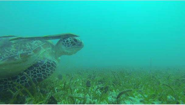 seagrass meadows critical habitats for juvenile fish and dugongs in