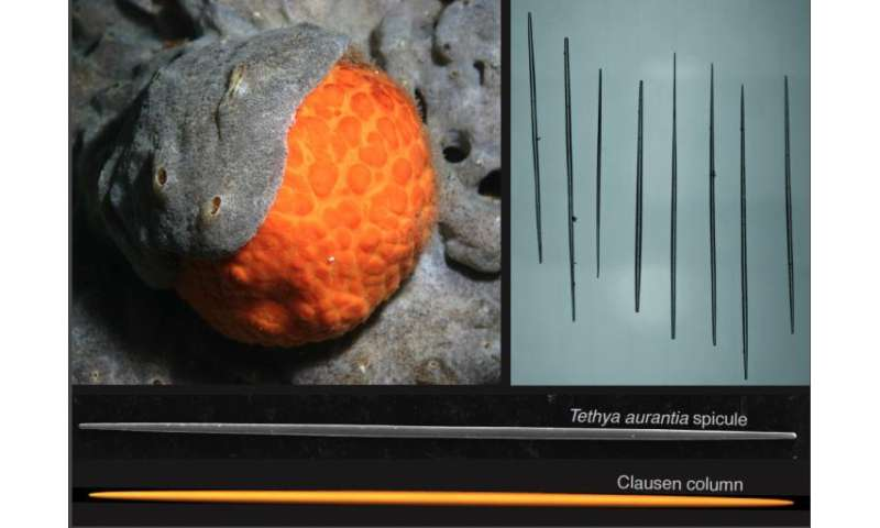 Sea sponges offer clues to how human-made structures can resist buckling