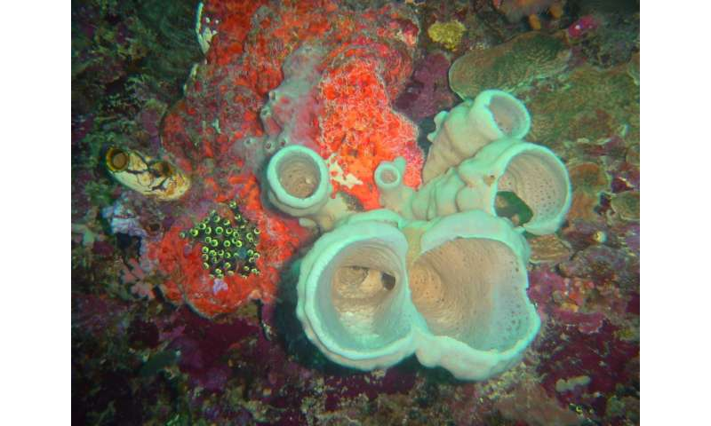 Six new sponge species and new symbiotic associations from the Indonesian coral triangle