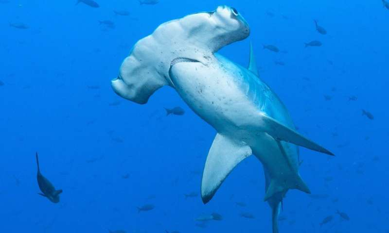 Size doesn't matter—at least for hammerheads and swimming performance