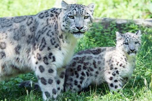 Snow leopard mother Siri stands next to her male cub Barid on August 13, 2015 at the zoo in Cologne, western Germany