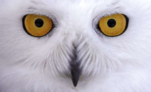 Snowy Owl Numbers Far Lower Than Once Thought