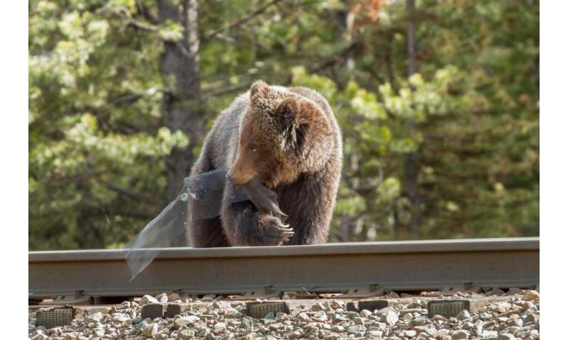 Some grizzly bears appear to target railways for foraging in Canadian national parks
