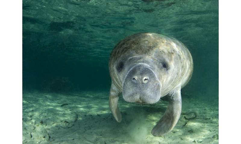 'Sound' research shows slower boats may cause manatees more harm than good