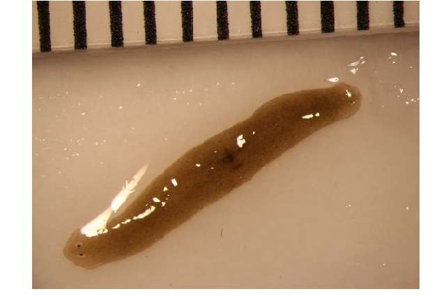 Space-traveling flatworms help scientists enhance understanding of regenerative health