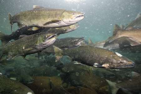 Spawning salmon that die after migrating home actually do their offspring a favour.