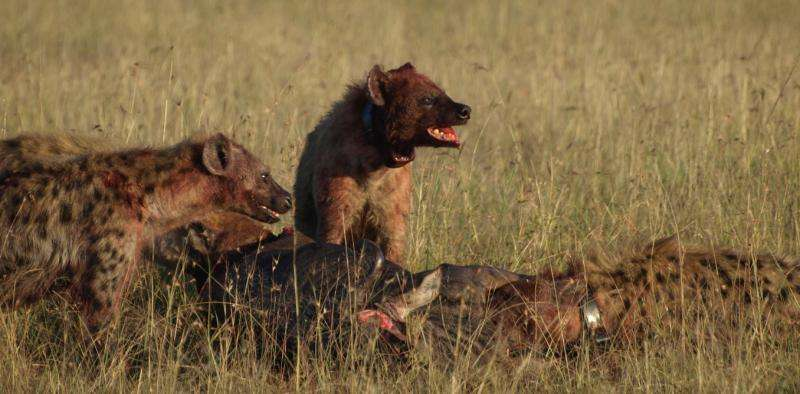 Spotted hyenas rarely die from disease: we set out to discover why