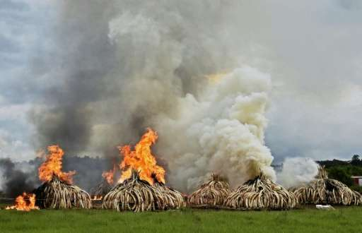 Stacks of elephant tusks and rhinoceros horns are burned after being seized from traffickers at the Nairobi National Park in 201