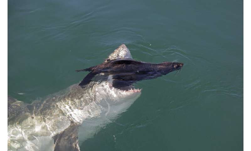 Phrase Where great white shark attacks seal