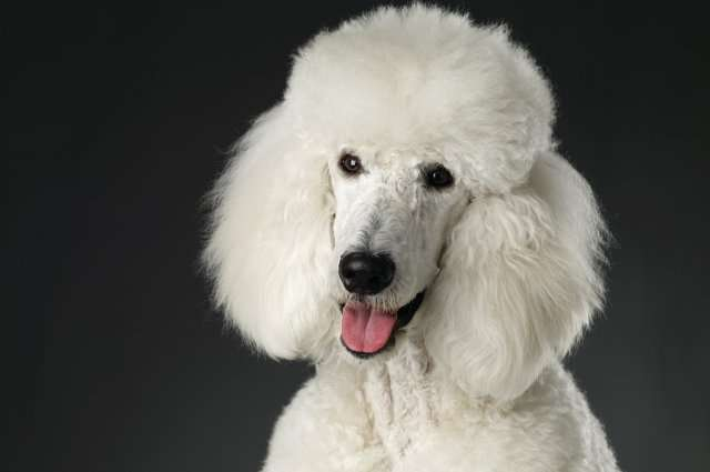 Studies of dogs that lose their hair from cancer treatments could benefit humans, too
