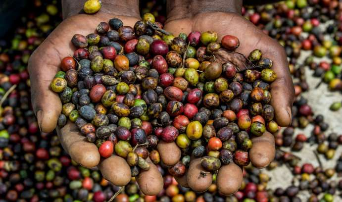 Study exposes dark side of coffee cultivation in Uganda