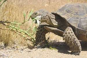 Study of relocated desert tortoises reveals a surprise