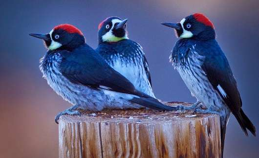 Study of woodpecker social groups sparks debate