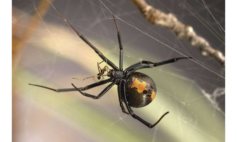 Study on redback spiders finds seemingly abhorrent mating strategy appears to benefit both males and females