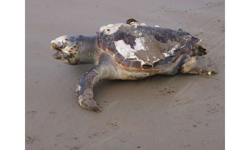 Study shows signs of hope for endangered sea turtles