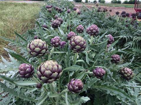 Study turns up heat on artichokes