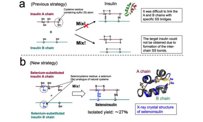 Successful synthesis of a new insulin analogue Selenoinsulin