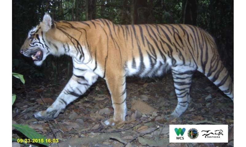 Sumatran tigers on path to recovery in 'in danger' UNESCO World Heritage site