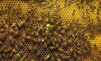 Surprised honeybees give 'whooping signal' in the hive, study shows