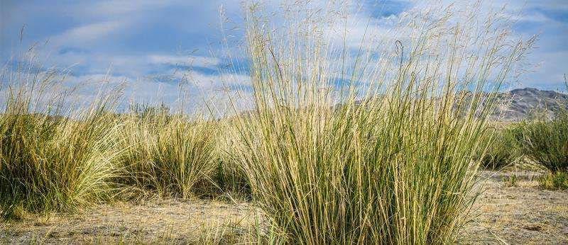 Switchgrass may unlock the future of biofuel