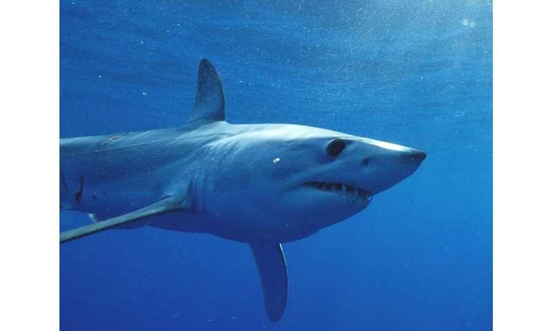 Tagged mako shark takes amazing 13,000 mile journey