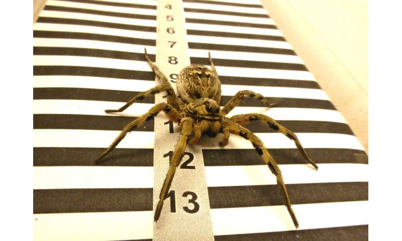 Tarantulas use their lateral eyes to calculate distance