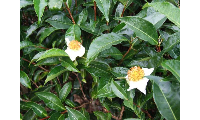 Tea tree genome contains clues about how one leaf produces so many flavors