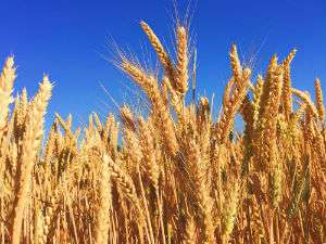 temperature variability and wheat quality