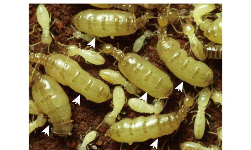 Termite queens' efficient antioxidant system may enable long life