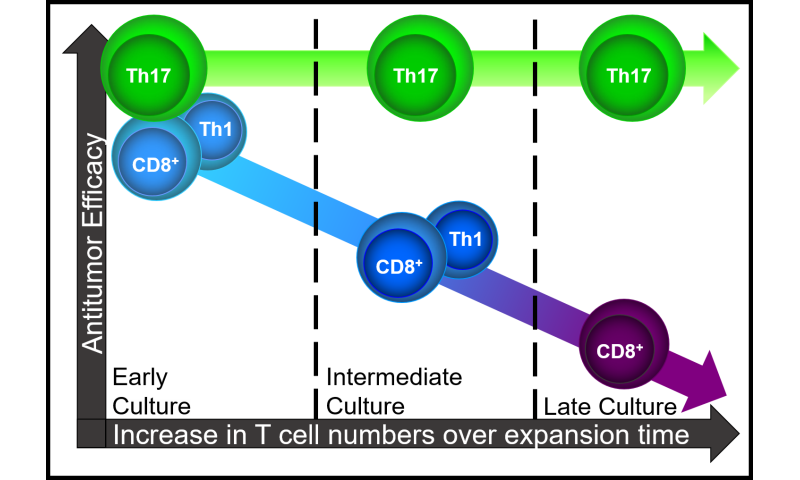 Th17 cells could facilitate wider clinical use of adoptive immunotherapy