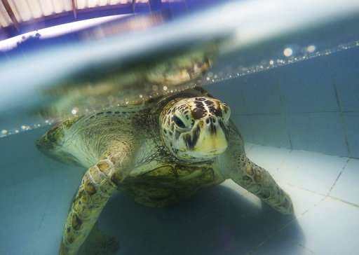 Thailand's coin-eating turtle dies of blood poisoning