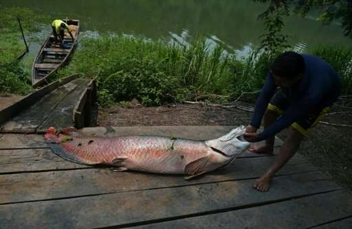 The Arapaima fish can grow up to ten feet tall and weigh almost 200 kilograms, to preserve the species, fishing it is banned fro