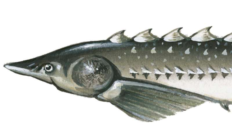 The Atlantic sturgeon's sojourn