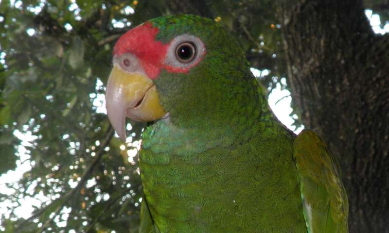 The male of the new Amazona species. Photo credit: Tony Silva