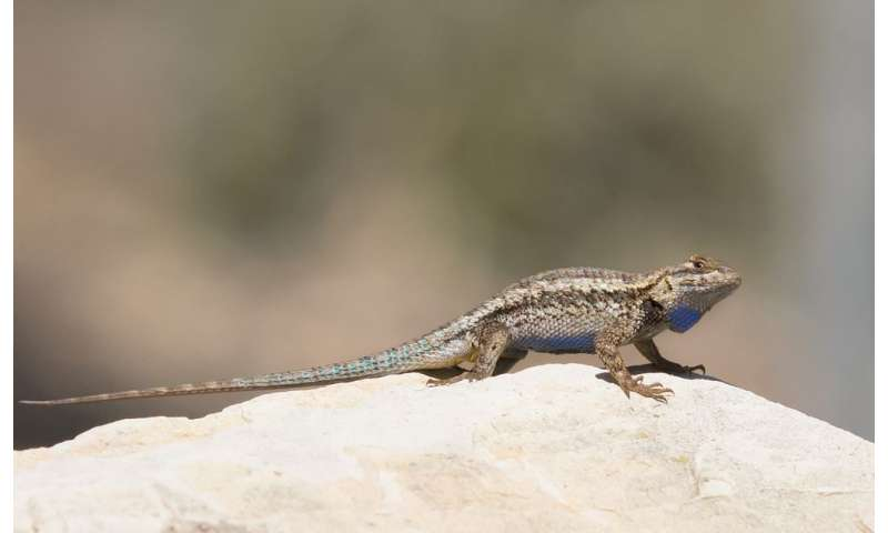 The color of people's clothing affects lizard escape behavior
