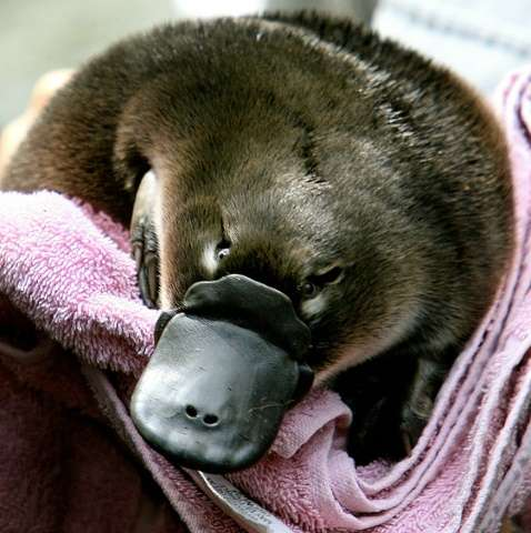 The duck-bill platypus lives in deep waterside burrows and is one of only two egg-laying mammals