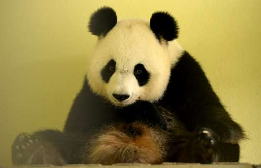 The female panda is only in heat once a year for about 48 hours. Huan Huan was impregnated by artificial insemination.